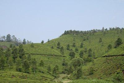 tea hills