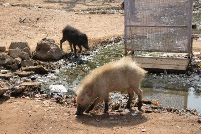 It is still India, and there is albino pigs here!