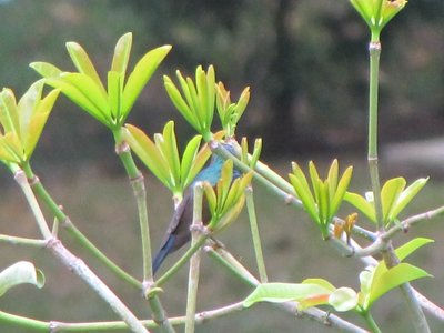 1__Blue_sunbird.jpg