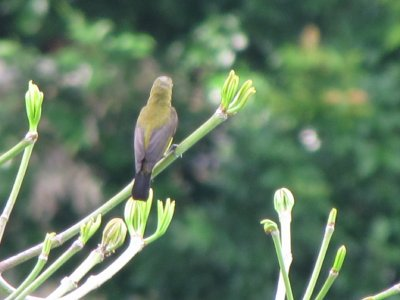 1__Olive-b..sunbird.jpg
