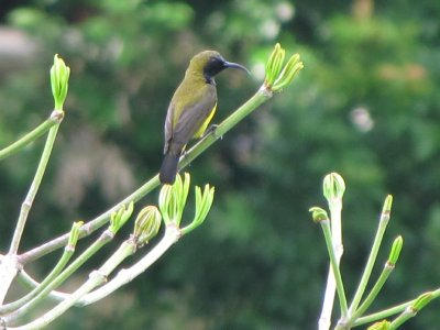 2__Olive-b..sunbird.jpg