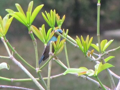 3__Blue_sunbird.jpg