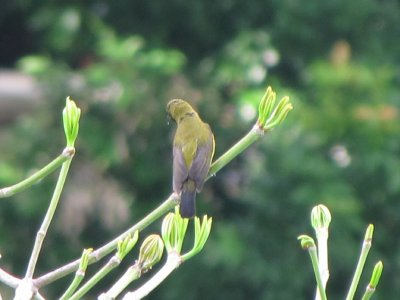 3__Olive-b..sunbird.jpg