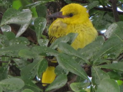 Baby Oriole_6