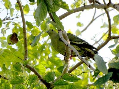 Green Pigeon 1