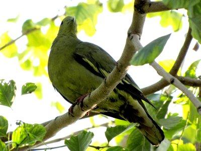 Green Pigeon 2