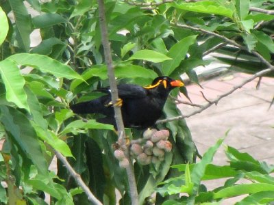 Hill_Myna_1.jpg