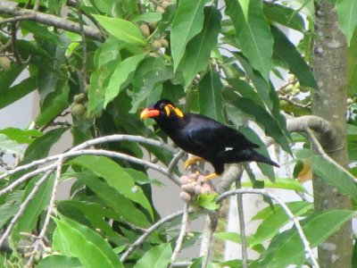 Hill_Myna_11.jpg