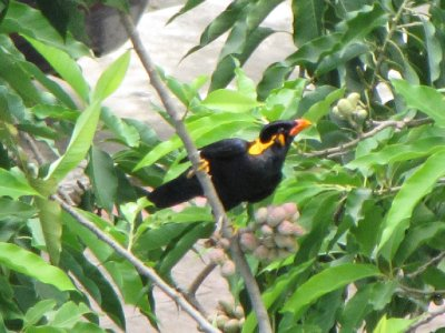 Hill_Myna_2.jpg