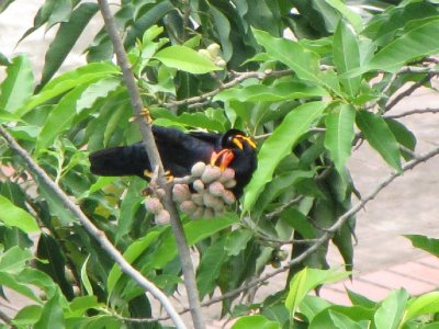 Hill_Myna_3.jpg