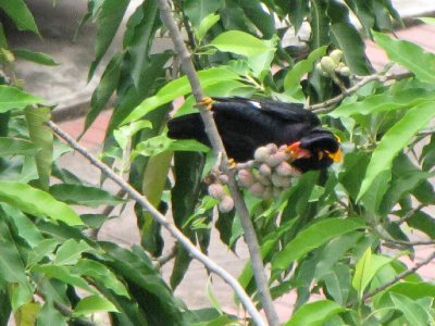 Hill_Myna_5.jpg