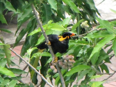 Hill_Myna_6.jpg
