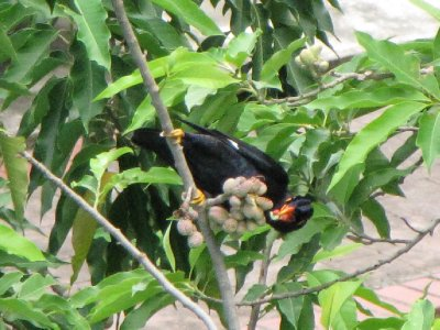 Hill_Myna_8.jpg