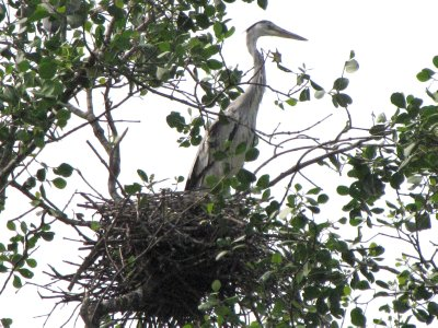 Grey Heron and Stick Nest