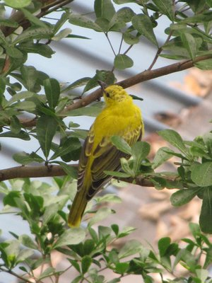 Young of Oriole