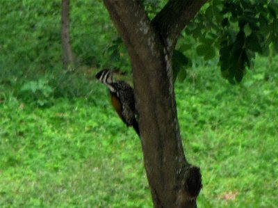 common_flameback.jpg