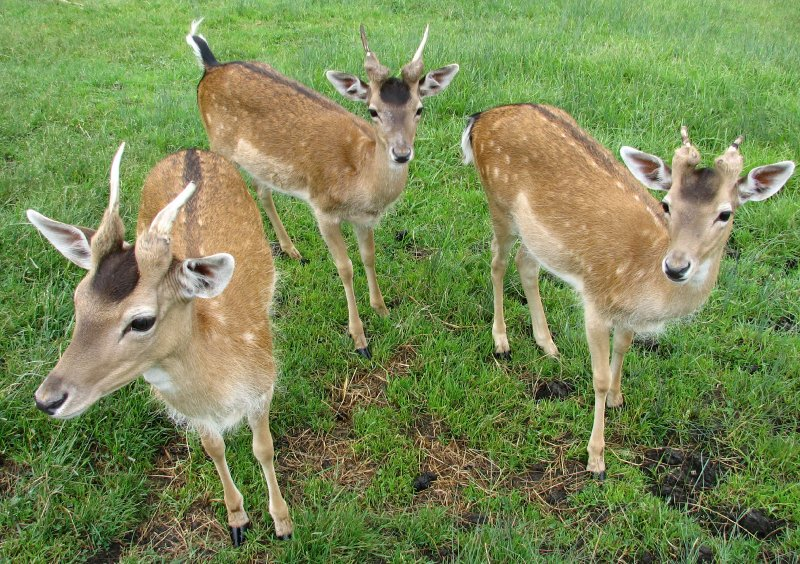 large_103c__To_G..g_deers.jpg