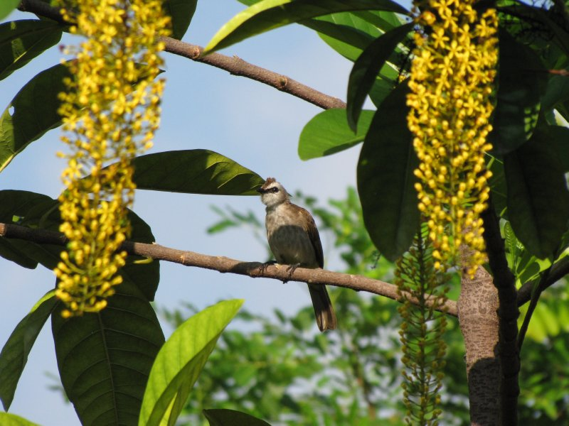 large_Bulbul_in_Action_1.jpg