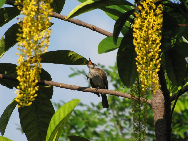 large_Bulbul_in_Action_2.jpg