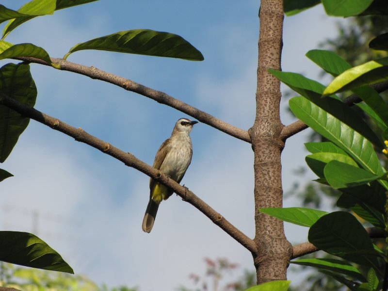 large_Bulbul_in_Action_4.jpg