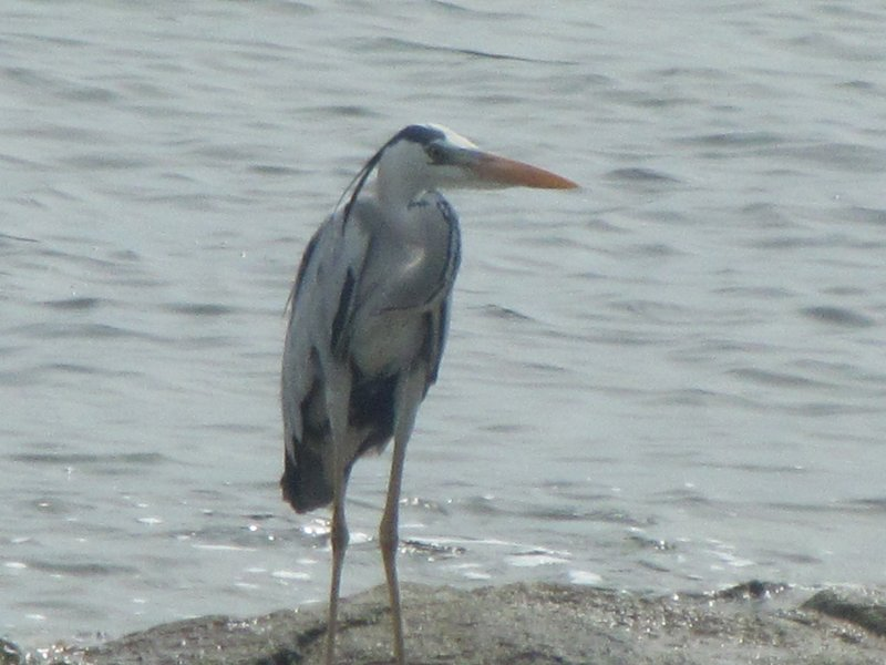 large_Heron2.jpg