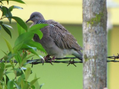 spotted_dove.jpg