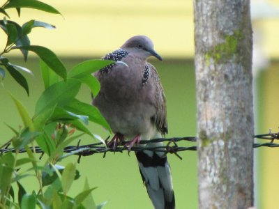 spotted_dove_2.jpg