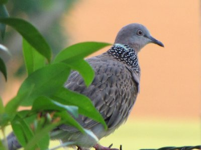 spotted_dove_3.jpg
