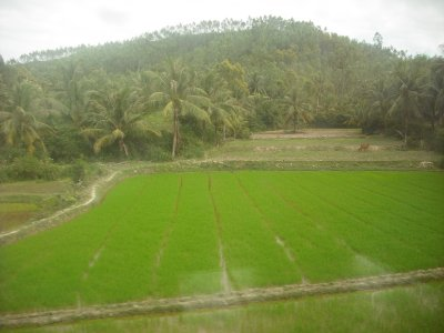 Rice paddy from moving train