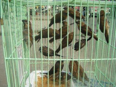 Caged birds, probably for sale, Cholon, Saigon