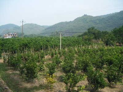 Citrus orchards near Yansghuo