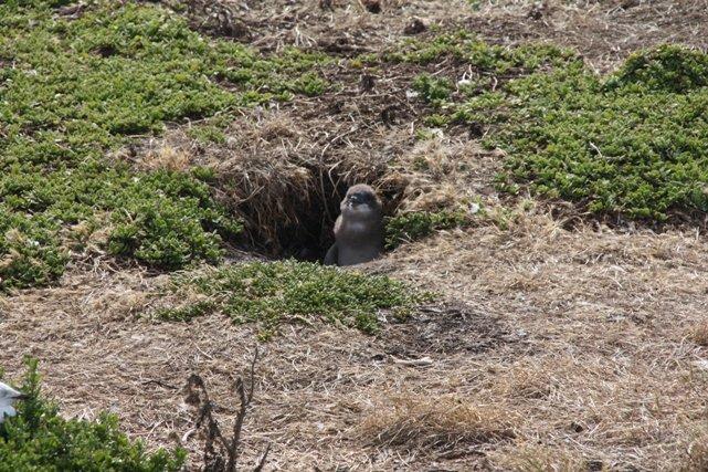 Baby 'Little Penguin'