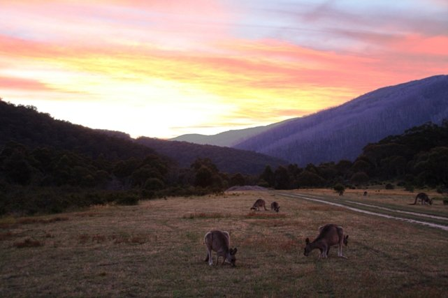 Kangaroos and Sunset at Island Bend Campground