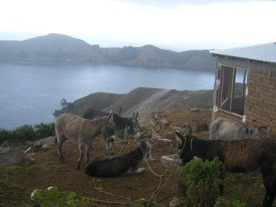 Bag-carrying donkeys - Isla del Sol