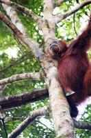 Orangutan!