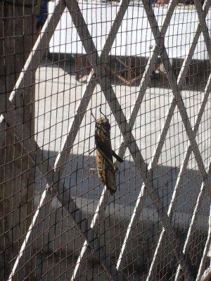 Huge locust