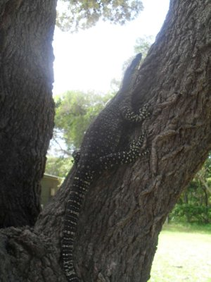 A Goalla on a tree 4