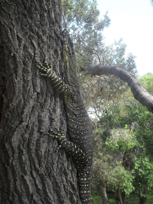 A Goalla on a tree 2