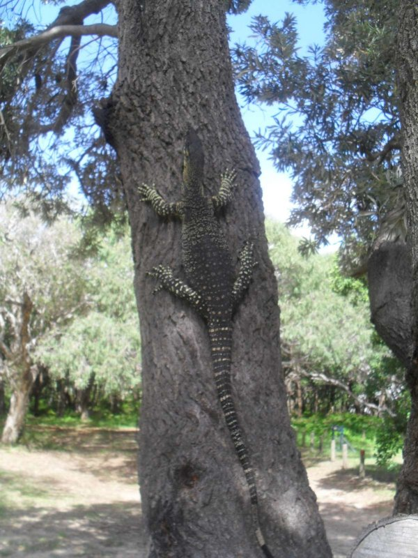 A Goalla on a tree