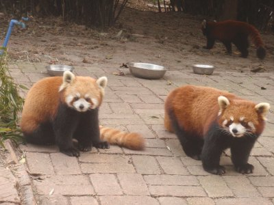 Pandas before being scared off