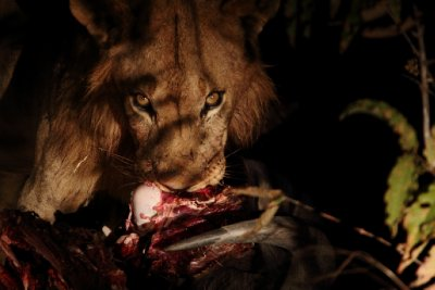 Lion&#39;s Feast