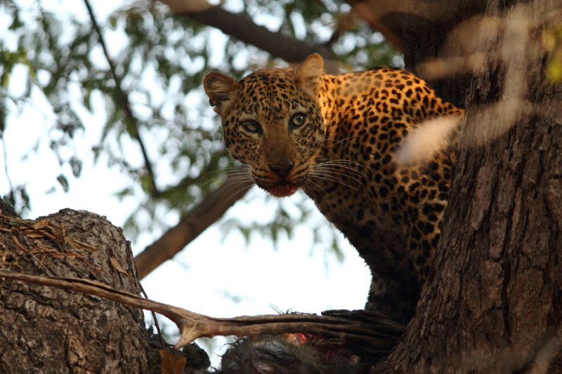 Alice the Leopard, Feasting