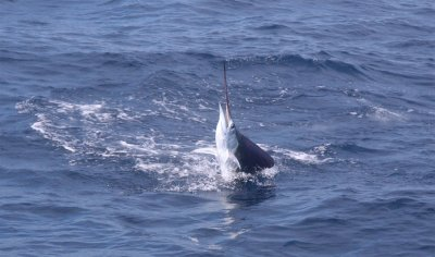 Sailfish July 2009