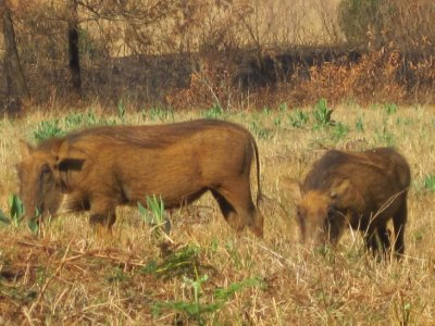 Warthogs having a snack