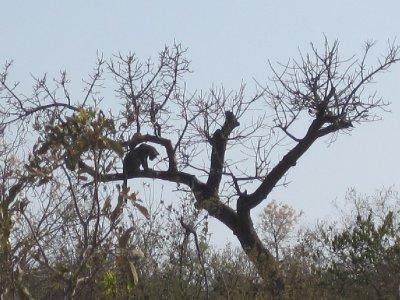 Balancing leopard