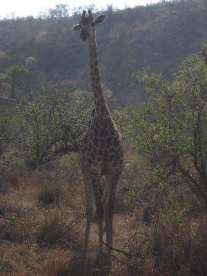 Alert giraffe
