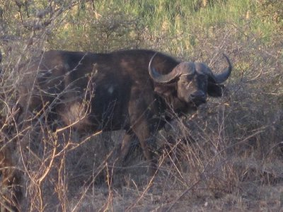 Cape buffalo (with awesome hair style)