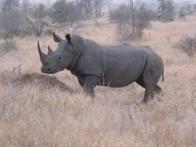A rhino like the one we ambushed