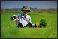 The rice man