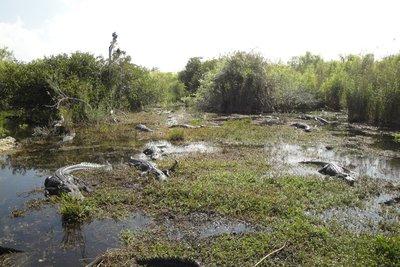 Yep that´s a lot of Alligators!
